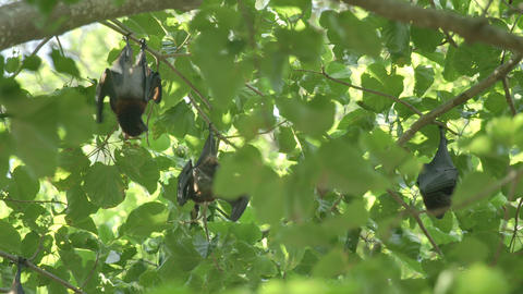 Flying fox hangs on a tree branch Footage