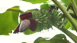Fruits of bananas on a banana tree Footage