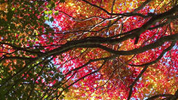 Autumn leaves sway in the wind ภาพวิดีโอ