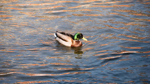 Duck in river Photo