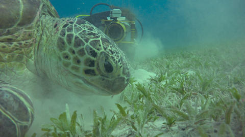Diving in the Red sea near Egypt. Large green turtle grazing on the seabed Live Action