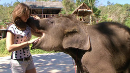 Very Funny, Friendly And Gullible Elephant In The Elephant Camp Phuket Thailand stock footage
