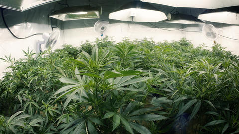 Tops of Indoor Marijuana Plants with Fisheye Lens Stock Video Footage