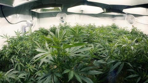 Tops of Indoor Marijuana Plants with Fisheye Lens Footage