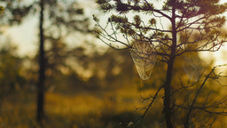 Cobwebs in pines with morning dew during a sunrise in marshland Footage