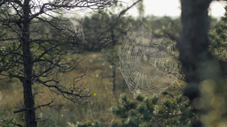 Cobweb in pines with morning dew during a sunrise in marshland Footage