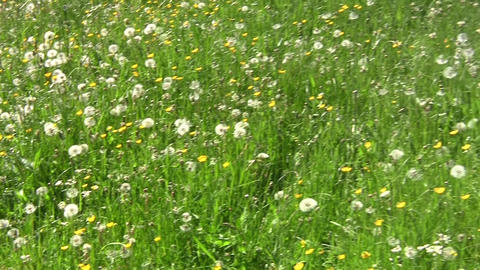 Dandelion field with white and yellow flowers and green grass 96 Footage