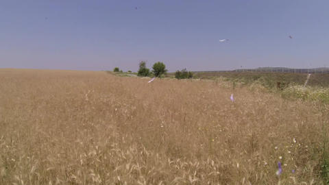 Flight over a field of dried herbs 145c Footage