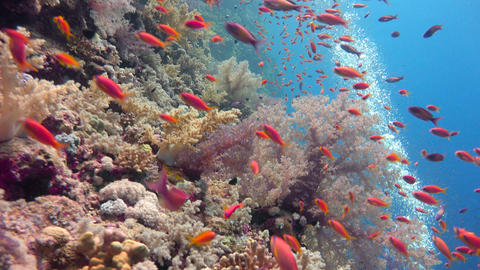 Beautiful colorful coral reef of Elphinstone. Diving in the Red sea near Egypt Live Action