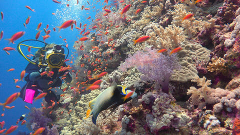 Underwater videographer shoots the Imperial angel fish. Beautiful colorful coral Footage