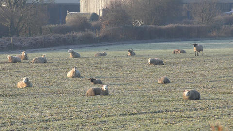 Flock of sheep lying on the field Footage