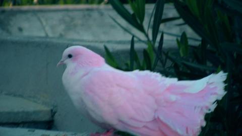 Pink Pigeon Footage