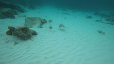 Blue Spotted stingray in the Andaman Sea Footage