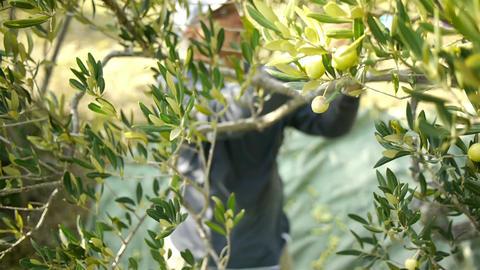 Harvesting day on olive tree plantation