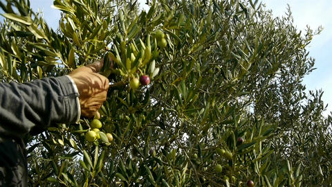 Man picking olive fruits from tree Footage