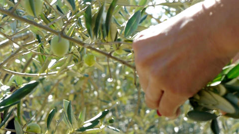 Woman picking olives from tree close up Footage