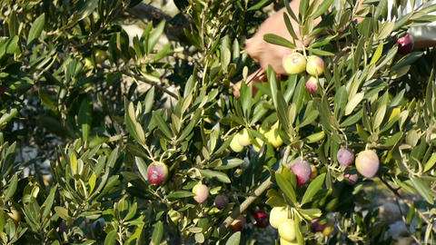 Picking ripe olives from tree close up Footage
