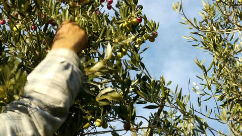 Man picking olives from tree on sunny day Footage