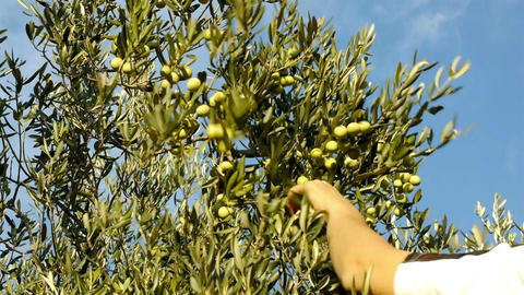 Olives harvesting Footage