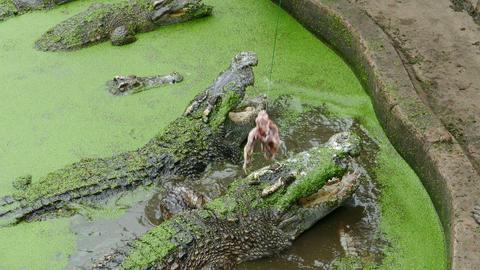Feeding the crocodile, 4k Footage