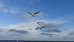 Sea Gulls Flying In Slow Motion stock footage