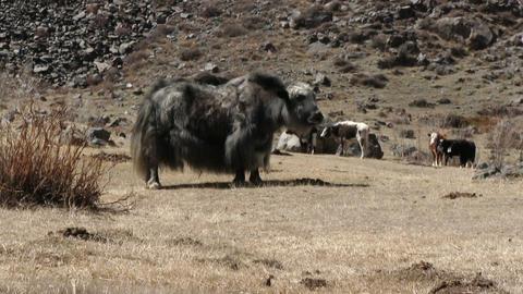 Yaks Graze On The Mountain Pasture Footage