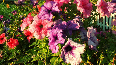 Petunia Flowers Footage