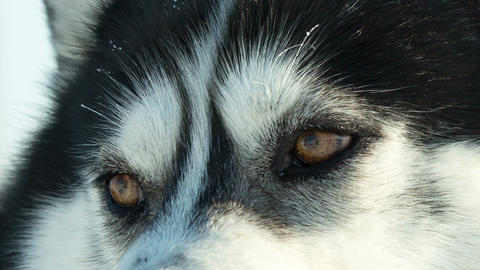 Siberian husky close up eyes sled dog at snowy winter Footage