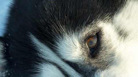 Siberian husky close up eyes sleep sled dog at snowy winter Footage