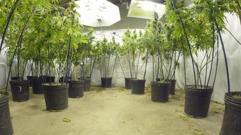 Steadicam Motion Pull Back from Marijuana Plants with Buds at Indoor Cannabis Fa Footage