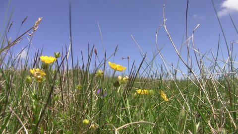 Alpine meadows with short grass and yellow and orange flowers beaten by wind 07 Footage