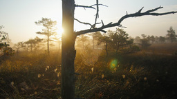 Marshland pine trees with cobwebs during foggy sunrise Footage