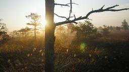 Marshland pine trees with cobwebs during foggy sunrise Footage