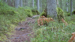 Dolly shot revealing a coniferous forest hiking trail Footage