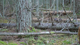 Decaying wind-fallen trees on a moss covered forest floor Footage
