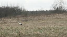 Single white stork walking on a grey field Footage