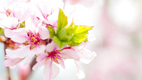 pink cherry flowers blooming in springtime. 4K. FULL HD, 4096x2304 Live Action