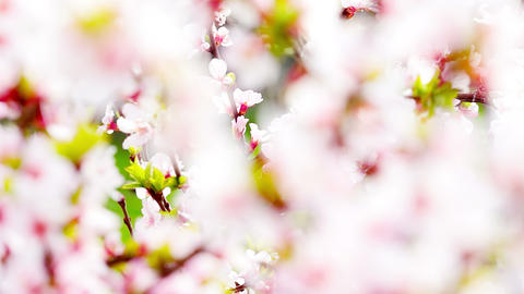 pink cherry flowers blooming in springtime. 4K. FULL HD, 4096x2304 Footage