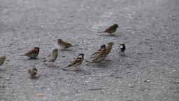 Sparrows Footage