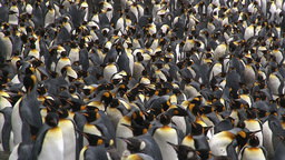 King Penguin (Aptenodytes patagonicus) colony Footage
