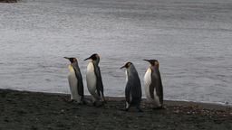 King Penguins (Aptenodytes patagonicus) walking behind each other Footage