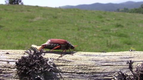 Beetle goes on a wooden beam 15 Footage