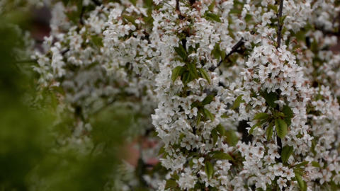 Cherry branches with white flowers in the wind 8 Footage