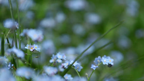 Close-up with blue flowers forget me not 9556 Footage