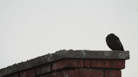 Crow looks on a tall brick chimney 477 Footage