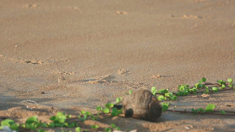 Sand crab on the beach Footage