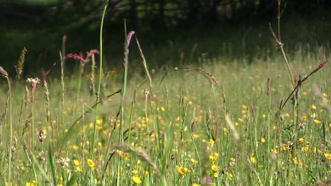 Eyes looking through green grass with wild flowers and forest that surrounds Footage