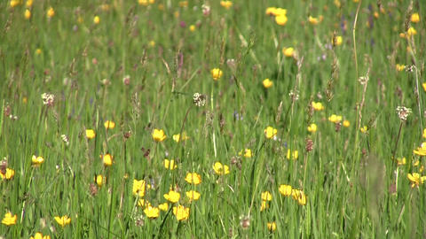Eyes looking through green grass with wildflowers 40 Footage