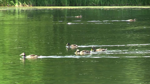 Family of ducks swimming in the dirty water of the lake 04 Footage