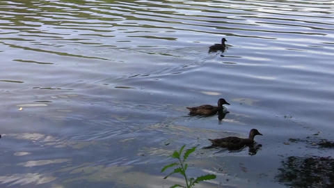 Family of ducks swimming in the dirty water of the lake 14 Footage